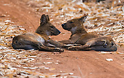 Pair of the endangered Asiatic wild dog (Cuon alpinus) from Tadoba NP, India.