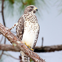 Red-shouldered Hawk, Corkscrew Swamp Sanctuary, Florida<br /> A juvenile as evidenced by the dark breast bars