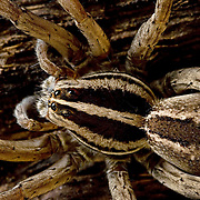 Mexican Lycosid, Wolf spider, Rabidosa santrita,<br />