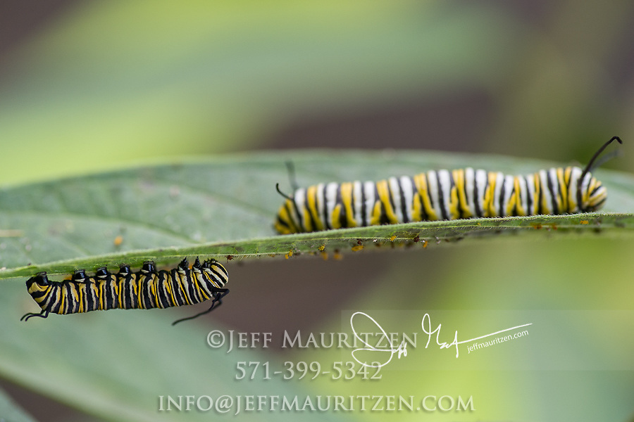 Two Monarch catepillars feed on the leaves of a Swamp milkweed plant.