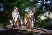 Toque macaque monkeys (Macaca sinica) in Sigiriya, Sri Lanka