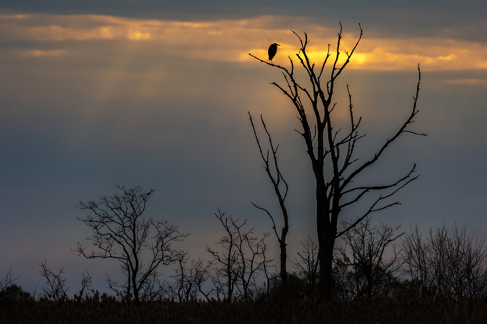 A Great Blue Heron silhouetted on a bare tree at Bombay Hook National Wildlife Refuge in Delaware.