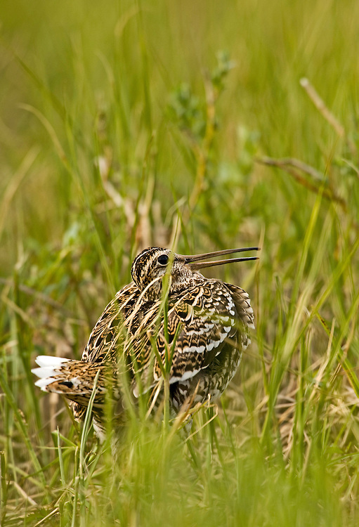 Great snipe (Gallinago media), Matsalu Bay Nature Reserve, Estonia