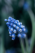 Muscari - grape hyacinth