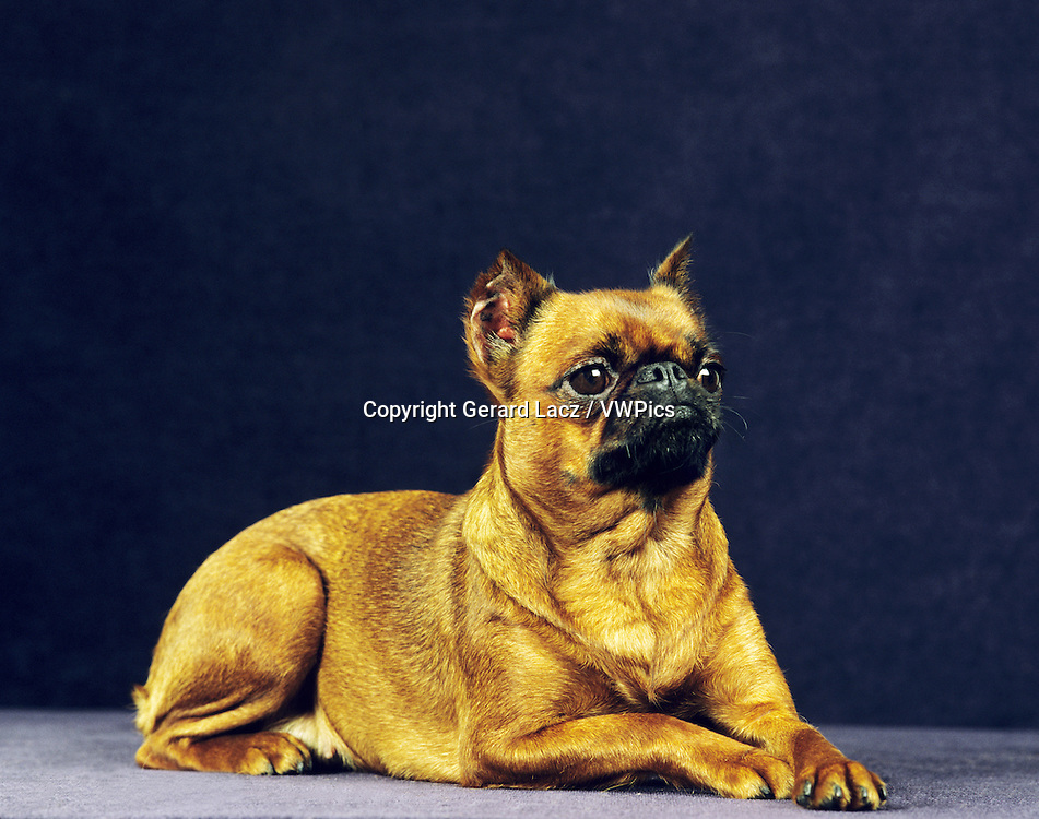 BELGIAN GRIFFON OR BRUSSELS GRIFFON (OLD STANDARD BREED WITH CUT EARS)