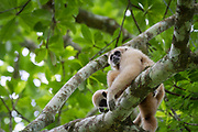 Female White-handed Gibbon (Hylobates lar) sitting with baby. Kaeng Krachan National Park. Thailand.