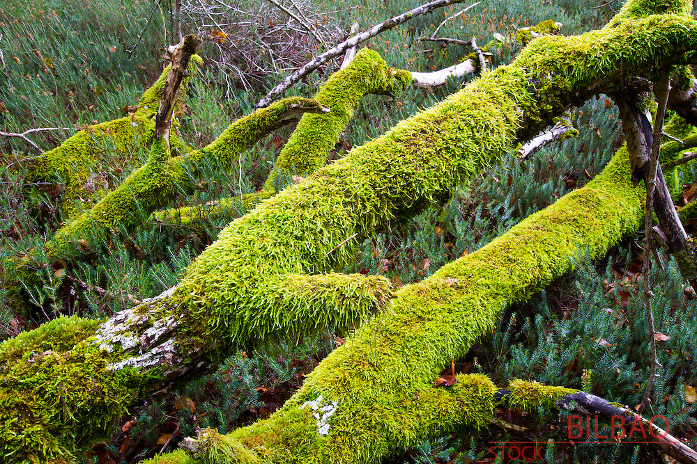 Mosses over a dead beechwood trunks. Monte Santiago Natural Monument. Burgos, Castile and Leon. Spain