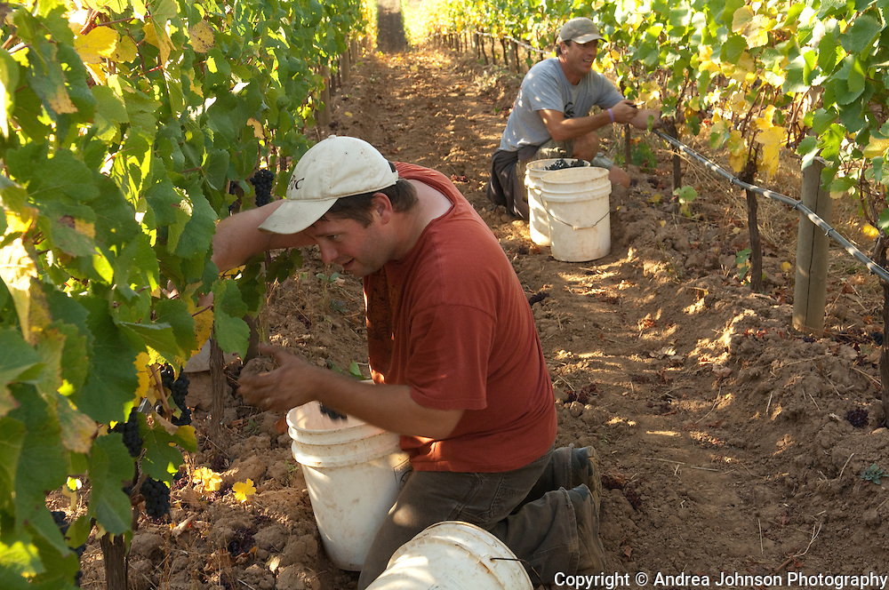Paul deLancellotti & Josh Bergstrom harvesting pinot noir in Mia's block at deLancellotti Family Vineyards, Yamhill-Carlton AVA, Willamette Valley, Oregon