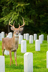 A deer greets me as I am visiting my grandmothers grave at Jefferson Barracks National Cemetery