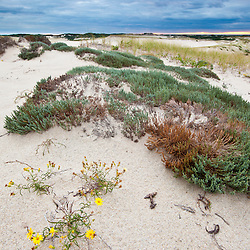 Flowers in bloom on the Provinceland Dunes in Cape Cod National Seashore in Provincetown, Massachusetts.