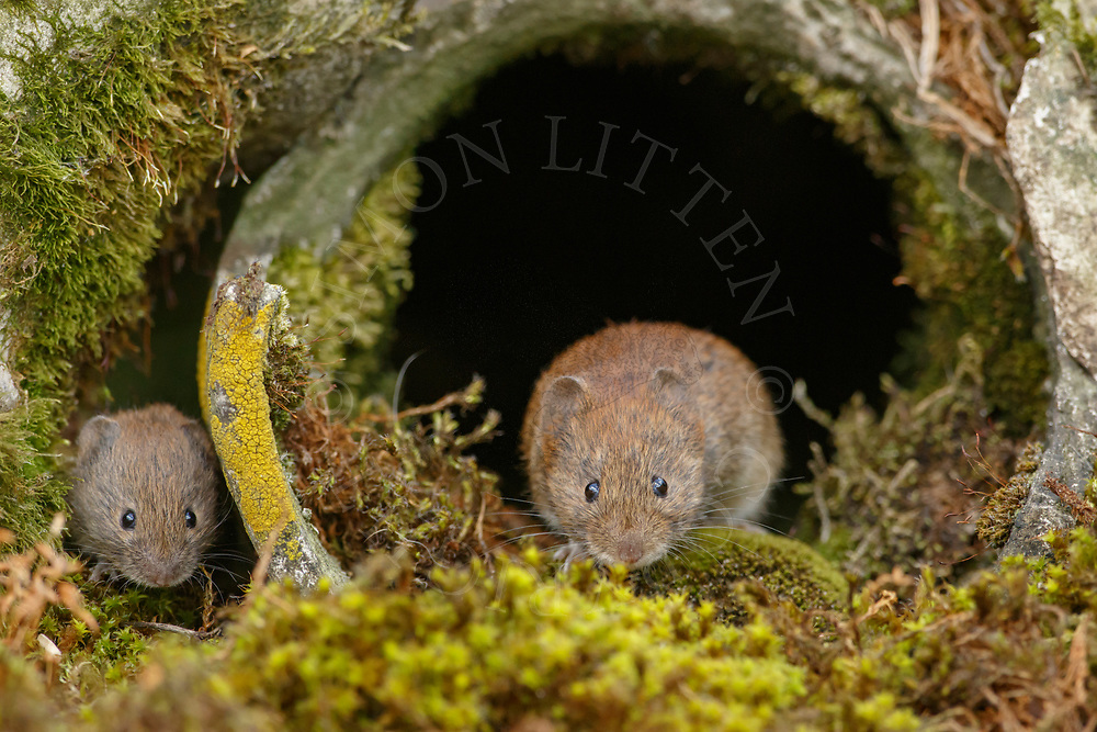 Bank Vole (Clethrionomys glareolus) adult emerging from broken drain pipe, South Norfolk, UK.  July.