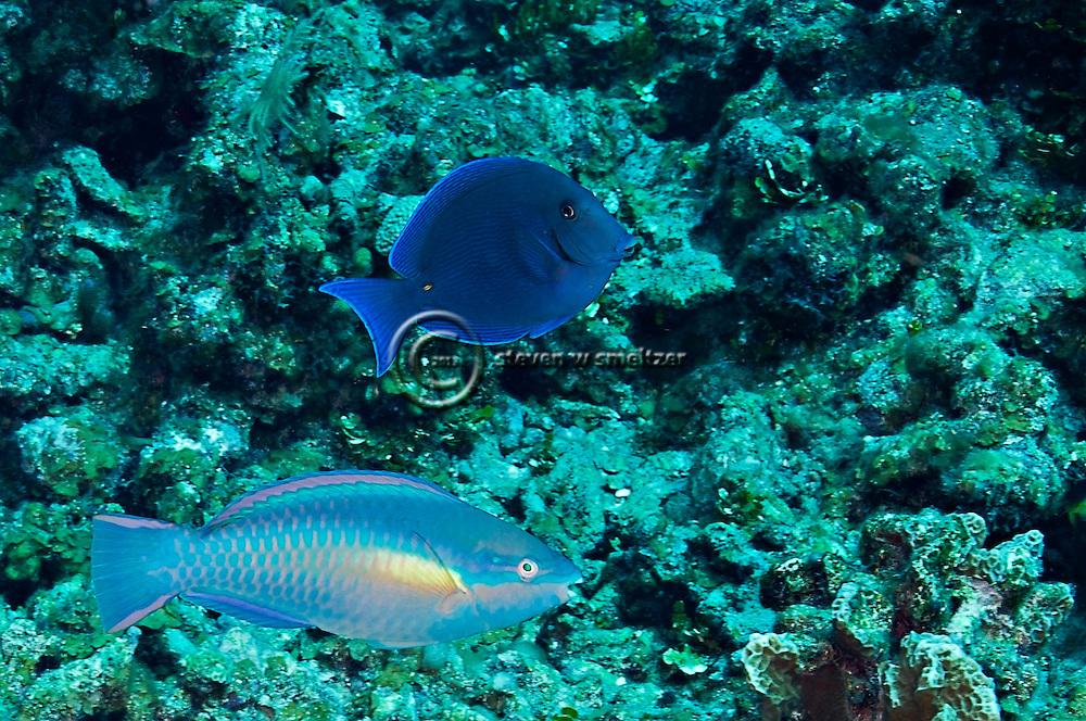Princess Parrotfish, Scarus taeniopterus, Desmarest, 1831, Blue Tang, Acanthurus coeruleus, Bloch & Schneider, 1801, Grand Cayman