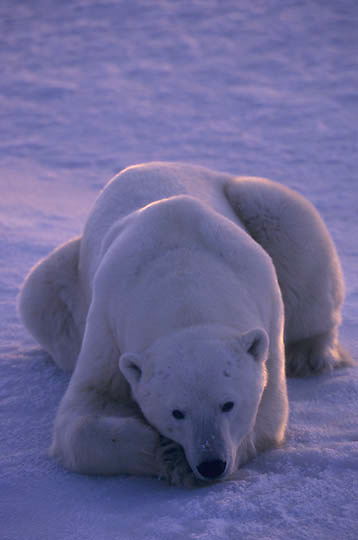 Polar Bear, (Ursus maritimus) Resting male. Hudson Bay. Canada. Churchill, Manitoba. Canada.