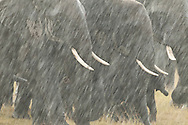 Rainstorms in Amboseli can be sudden and dramatic.  These elephants were drenched within seconds and seemed to enjoy their unexpected bath.<br />