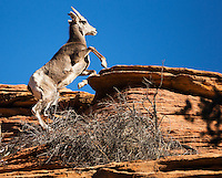 Mountain goat climbing a sandstone butte in Zion National Park, Utah.