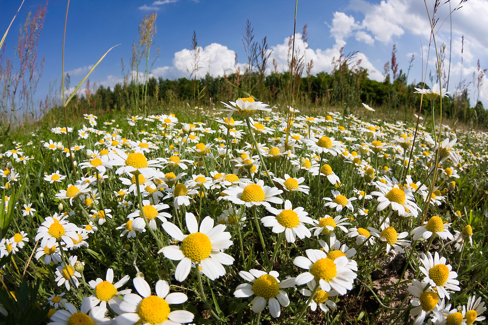 Blumenwiese mit Ackerhundskamille, Anthemis arvensis, Ost-Slowakei, Europa / flowering meadow with camomile, Anthemis arvensis, East Slovakia, Europe