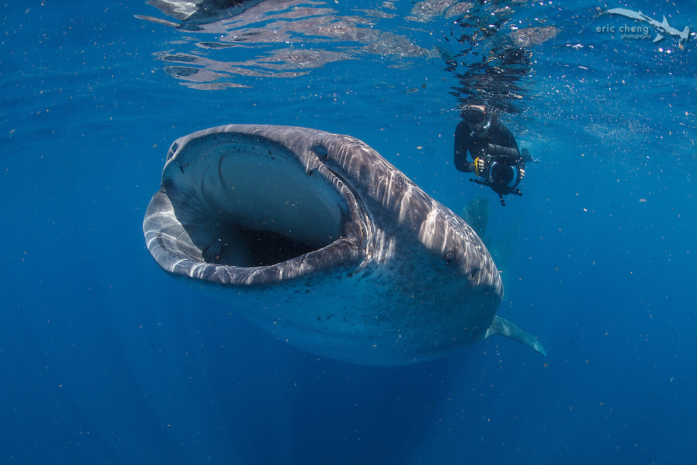 Snorkeler with whale shark (Rhincodon typus) off of Isla Mujeres, Mexico.