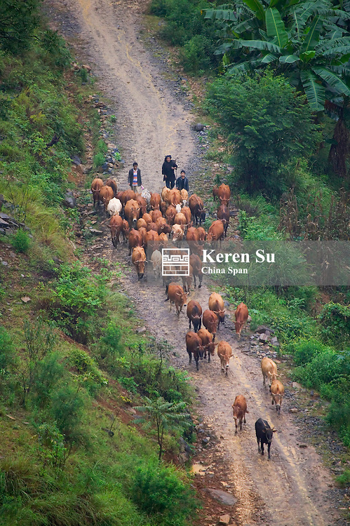 Farmer herding cows in the mountain, Guizhou, China