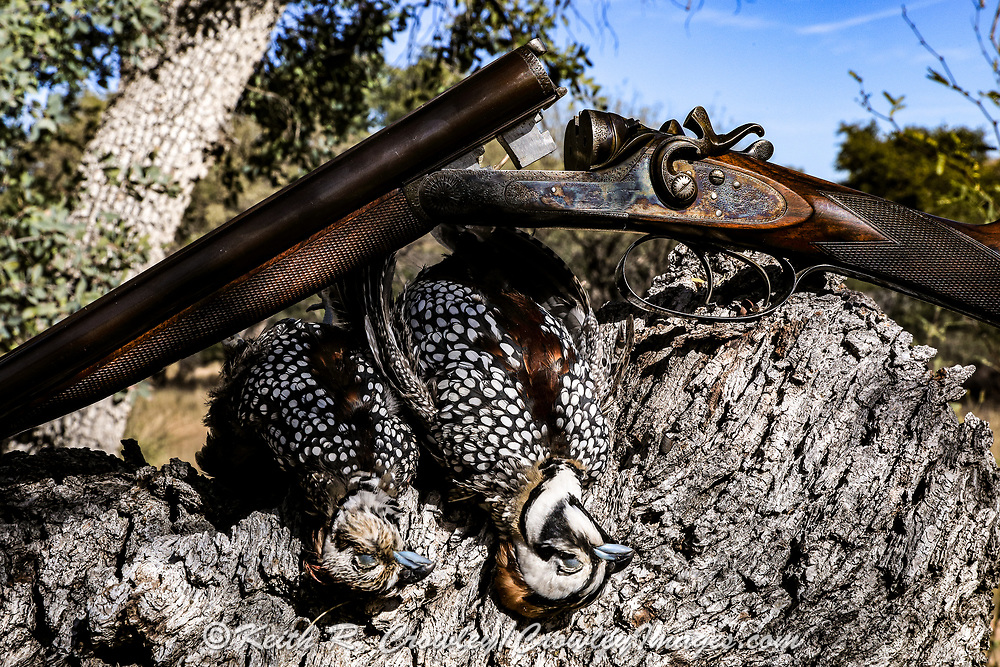 Still life with two male Mearns (Montezuma) quail and a G.E. Lewis antique hammer shotgun.