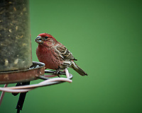 Male House Finch at a bird feeder. Image taken with a Nikon D5 camera and 600 mm f/4 VR lens (ISO 1000, 600 mm, f/4, 1/1250 sec)