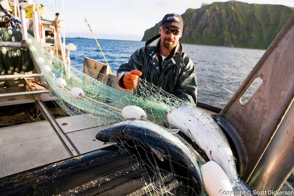 Buck Luakitis rolls aboard the catch while commercial sockeye salmon fishing in the Eastern Aleutian Islands, area M, region aboard the F/V Lucky Dove.