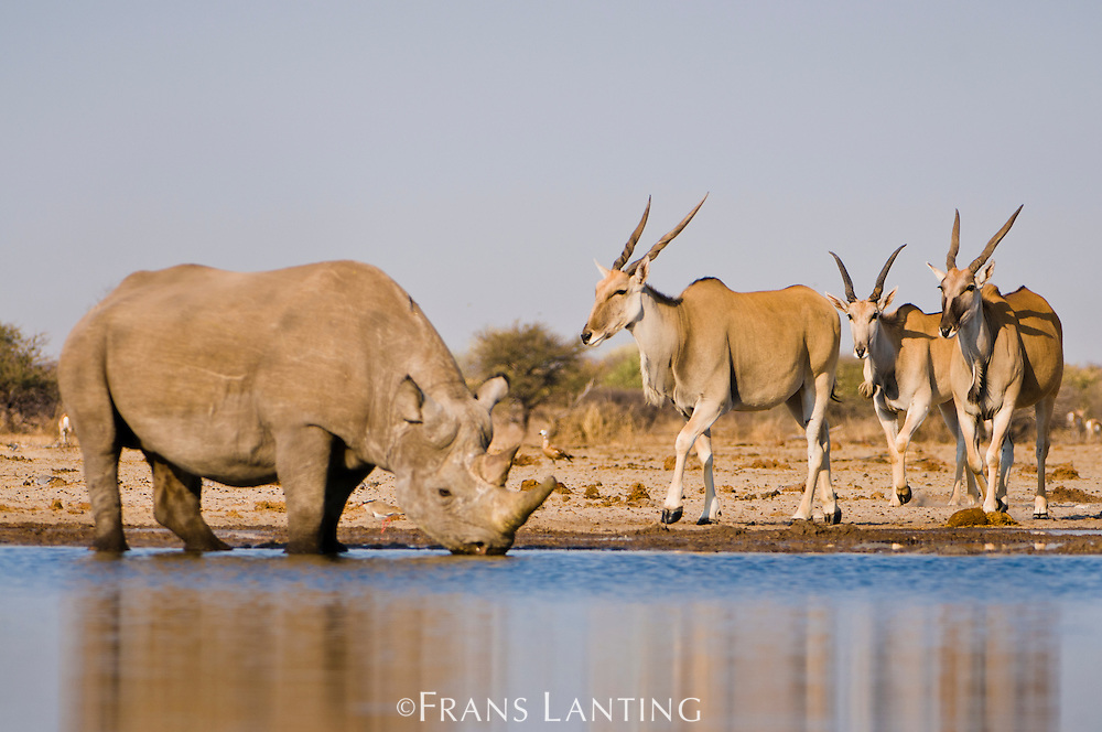 Black rhino, Diceros bicornis, and elands, Taurotragus oryx, at waterhole, Etosha National Park, Namibia