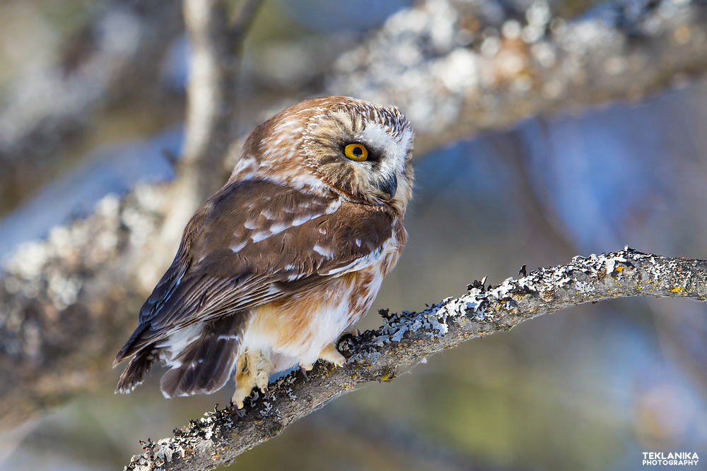 A spring northern saw-whet owl alights on a branch.