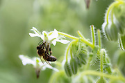 Honey bee, Apis, gathering nectar from White Borage, Borago officinalis, in organic garden in Oxfordshire UK