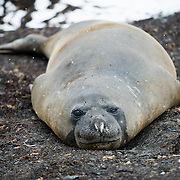 Southern Elephant Seal on the beach on Livingston Island in the South Shetland Islands, Antarctica.