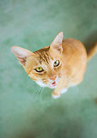 Portrait of a begging cat in Thailand&#xA;<br />