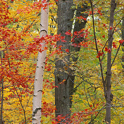 Fall in a mixed deciduous forest in Connecticut's Litchfield Hills.  Kent School property currently part of a TPL project.  Kent, CT