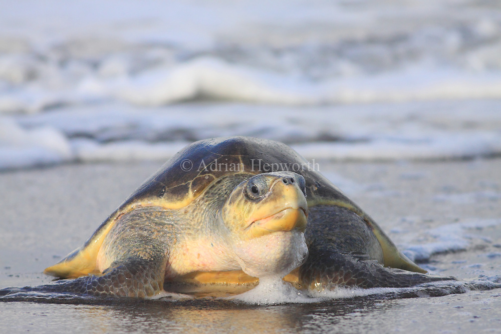 Female Olive Ridley Turtle (Lepidochelys olivacea) coming ashore to lay eggs during an arribada. Playa Ostional, Guanacaste, Costa Rica. <br />