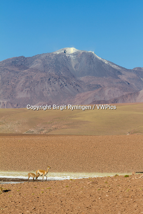Vicuñas in Andean landscape, dotted with volcanos. Location: Between San Pedro de Atacama and El Tatio geysir field, in the Atacama desert, north Chile