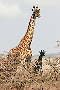Two giraffes one young and one mature at Serengeti National Park is a region of grasslands and woodlands in United Republic of Tanzania