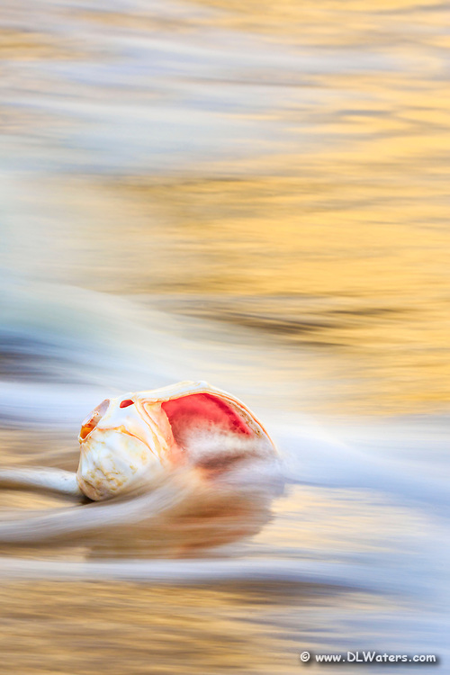 Whelk shell in the surf at sunrise at a Outer Banks beach.