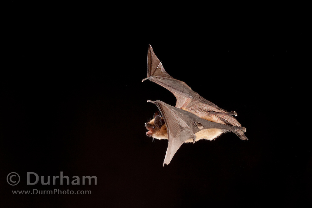 big brown bat (Eptesicus fuscus) flying at night. A small hole in the wing is an old injury of unknown cause. Sulphur Springs in the Central Washington desert.