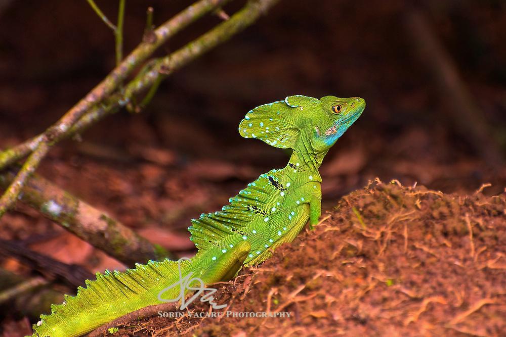 Emerald Basilisk Posing for the camera in La Estacion Biologica La Selva, Costa Rica