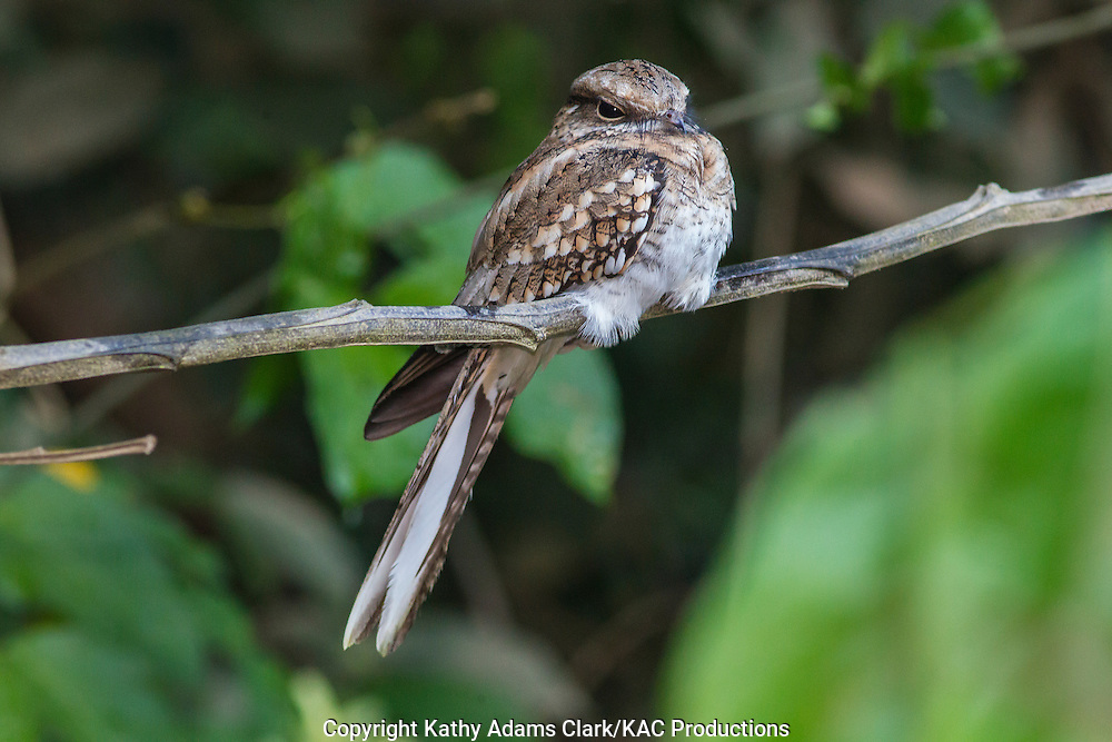 Ladder-tailed nightjar, Hydropsalis climacocerca, perched, Inkaterra Amazonia;  Lake Sandoval; Madre de Dios River; perched; Peru; Reserva Ecologica Inkaterra