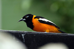 05 June 2005:   The Venezuelan troupial is the national bird of Venezuela and one of about 25 or so species of New World orioles. It is native to  Colombia, Venezuela, and the Caribbean islands of Aruba, Curaçao, Bonaire, and Puerto Rico.