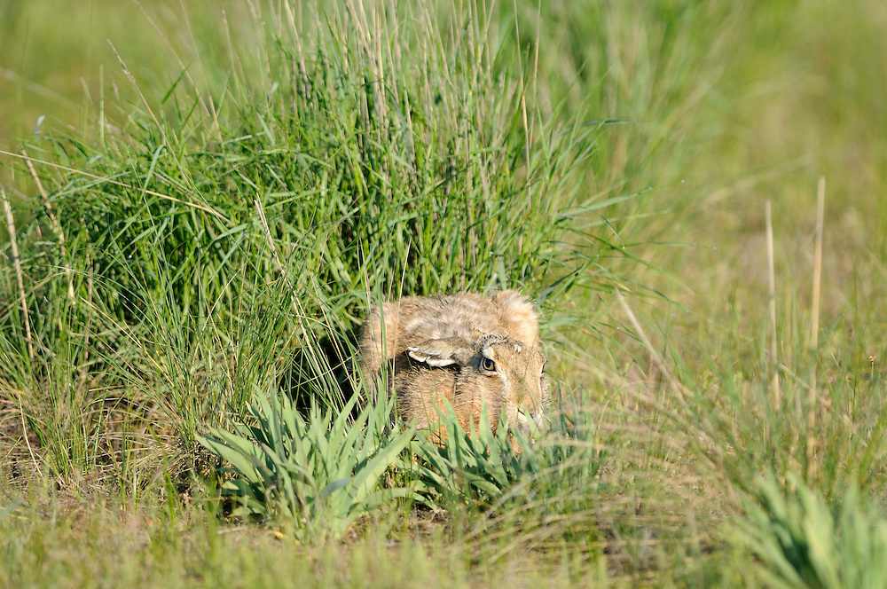 Mission: Saiga.A European brown hare in the steppe of Cherniye Zemly (Black Earth) Nature Reserve, Kalmykia, Russia, May 2009.Lepus europaeus