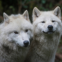 Gray Wolves - Canis lupus