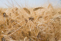 Wheat in field close-up