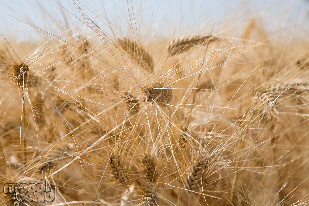 Wheat in field close-up