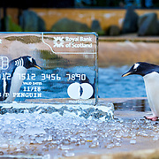 Penguins at Edinburgh Zoo strike a pose to highlight Royal Bank of Scotland customers can now temporarily freeze their credit cards using the bank's mobile app.<br />  <br /> Thousands of credit card customers misplace their cards every year and have to request a new one, now Royal Bank of Scotland customers will be able to instantly freeze their card, reducing the number of cards that are unnecessarily cancelled.<br />  <br /> The new feature launched at Edinburgh Zoo today with the help of the zoo's penguins who were intrigued to find their enclosure containing ice sculptures of frozen credit cards (Pictures available). Edinburgh Zoo is home to a number of penguin species including King, Northern Rockhopper and Gentoo, it was the first zoo in the world to breed King penguins.<br /> <br /> Picture Robert Perry 15th Nov 2018<br /> <br /> Please credit photo to Robert Perry<br /> <br /> Image is free to use in connection with the promotion of the above company or organisation. 'Permissions for ALL other uses need to be sought and payment make be required.<br /> <br /> <br /> Note to Editors:  This image is free to be used editorially in the promotion of the above company or organisation.  Without prejudice ALL other licences without prior consent will be deemed a breach of copyright under the 1988. Copyright Design and Patents Act  and will be subject to payment or legal action, where appropriate.<br /> www.robertperry.co.uk<br /> NB -This image is not to be distributed without the prior consent of the copyright holder.<br /> in using this image you agree to abide by terms and conditions as stated in this caption.<br /> All monies payable to Robert Perry<br /> <br /> (PLEASE DO NOT REMOVE THIS CAPTION)<br /> This image is intended for Editorial use (e.g. news). Any commercial or promotional use requires additional clearance. <br /> Copyright 2018 All rights protected.<br /> first use only<br /> contact details<br /> Robert Perry     <br /> 07702 631 477<br /> picture