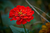 Red Dahlia Bloom. Autumn flowers in my garden. Image taken with a Fuji X-T2 camera and 100-400 mm OIS telephoto zoom lens (ISO 200, 400 mm, f/5.6, 1/140 sec).
