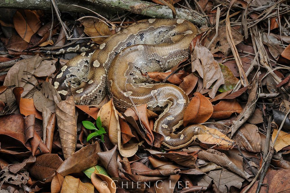 Short-tailed Python (Python breitensteini)