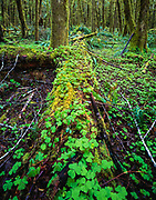 Wood-sorrel (Oxalis oregana) growing on rotting log in temperate rain-forest, Olympic National Forest, Washington, © 2000 David A. Ponton  [From 4x5 original]