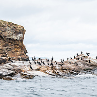 Double-crested cormorants (Phalacrocorax auritus) roosting on the Bird Islands off Cape Dauphin, Nova Scotia, Canada. July 2018.
