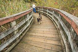 United States, Washington, Kirkland, Woman walking dogs on boardwalk at Totem Lake.  MR