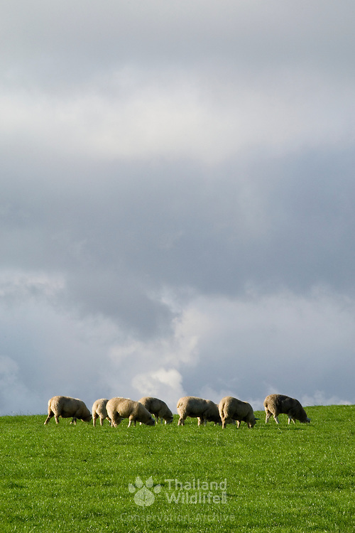 Sheep grazing on lush green grass in the Yorkshire Pennines with an ominous sky behind.